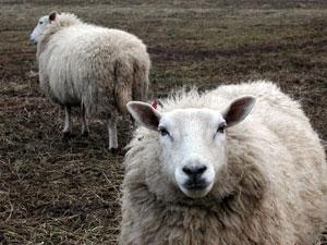 Follow the Social Media Sheep